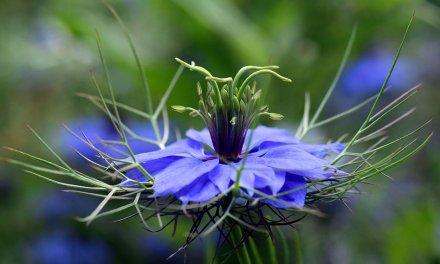 El herbario: Comino