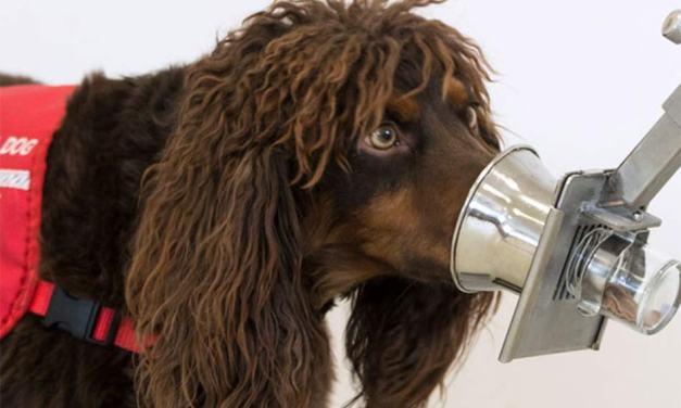 Perros que detectan el covid-19: Dubai ya los tiene en su aeropuerto