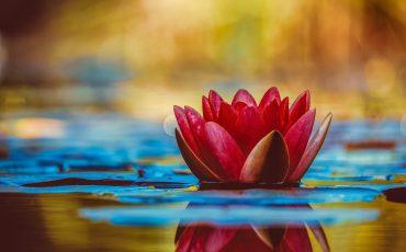 1 Flor de Lotus. Pikrepo