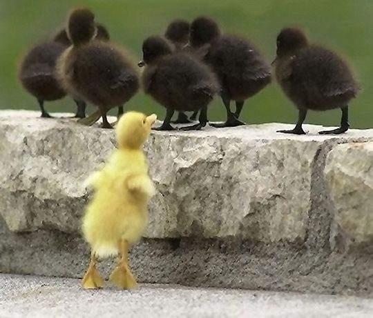 discriminacion-del-pato