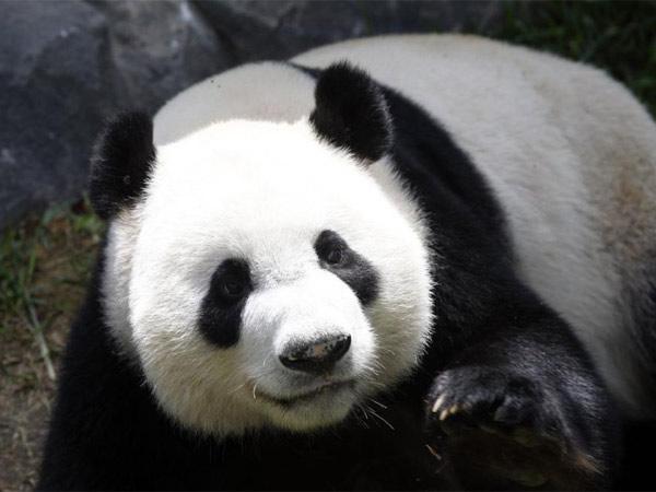 Pandas Gigantes. 10 animales que no verán tus hijos.