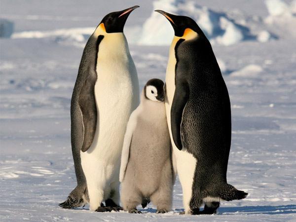 Pingüinos Emperador. 10 animales que no verán tus hijos.