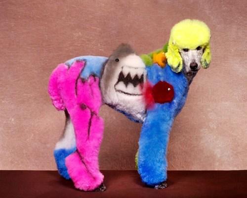 Exhibiciones caninas divertidas - Caniche tiburón
