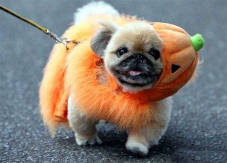 Disfraces para Mascotas en Halloween - Disfraz de Calabaza