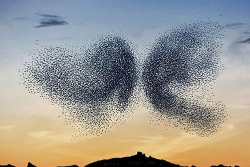 Murmuration... el Fenómeno de las Aves Migratorias