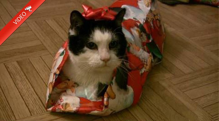 ¿Cómo envolverías a un gato como regalo de Navidad?
