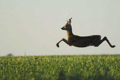 Fotos Increíbles en el Momento Justo - Salto de un ciervo