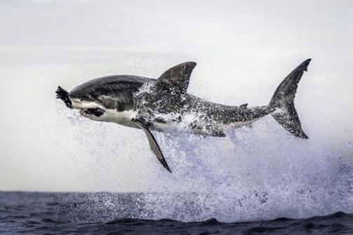 Fotos Increíbles en el Momento Justo - Un tiburón en plena caza aérea