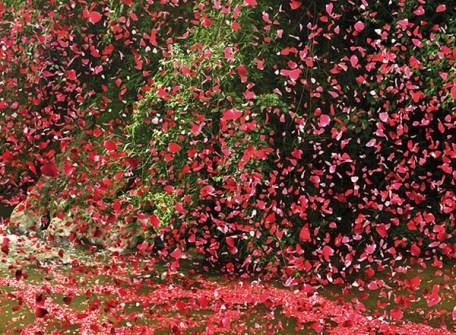 8 Millones de pétalos de rosa utilizados en una Campaña Publicitaria de Sony