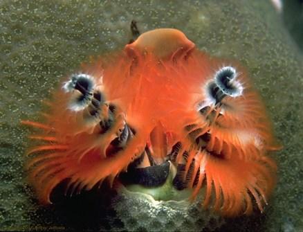 gusano-arbol-de-navidad