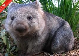 ¿Conoces los Wombats?
