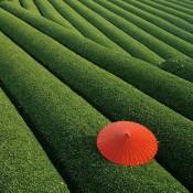 Campos de Té en China