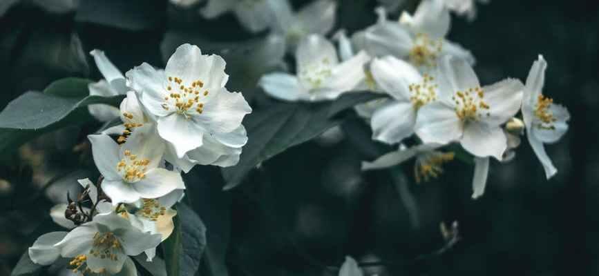 close up photo of blooming white jasmine flowers