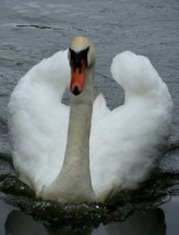 Graceful Swan