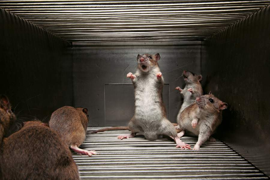 Fable des rats qui sont venus s'incarner dans la matrice
