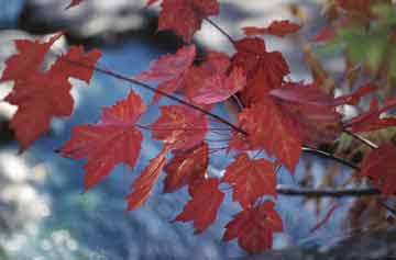 Red_maple_leaves