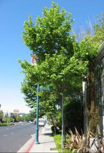 40thstreet-tree