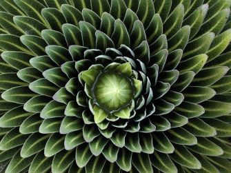 giant-lobelia-plant_9372_600x450
