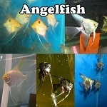 Healthy Angelfish Online