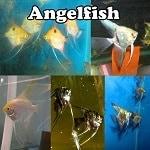 Healthy Angelfish Online