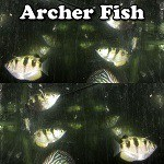 Archer Fish For Sale
