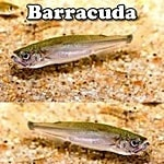 Barracudas for aquariums