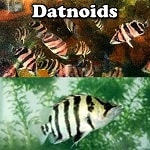 Quality Datnoids for sale