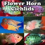 Flower Horn Cichlids for sale