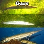 Gars for Aquariums