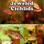 Jewel Cichlids for sale
