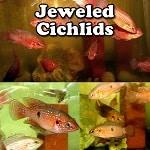Jewel Cichlids for sale