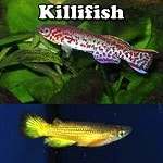 Freshwater Killifish