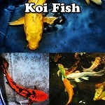 Koi Fish for sale online