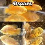 Quality Oscars for sale