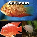 Freshwater Severum For Sale