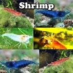 Aquarium Shrimp for sale