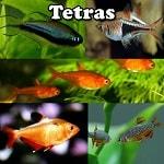 Aquarium Tetras online