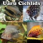 Freshwater Uaru Cichlids