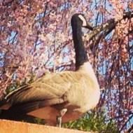 Crazy wild goose at school enjoying the cherry blossoms.