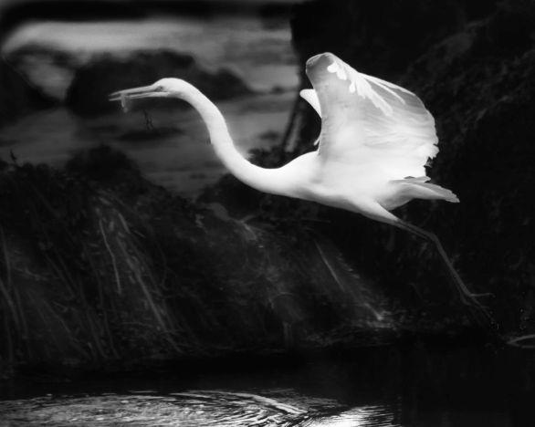 Great White with Fish © Bob Sadler