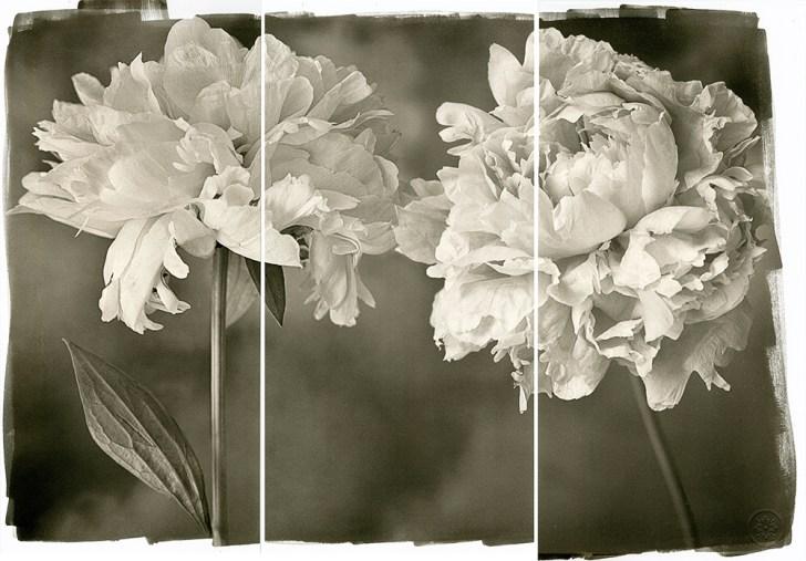 Engagement Peonies © Brigitte Carnochan