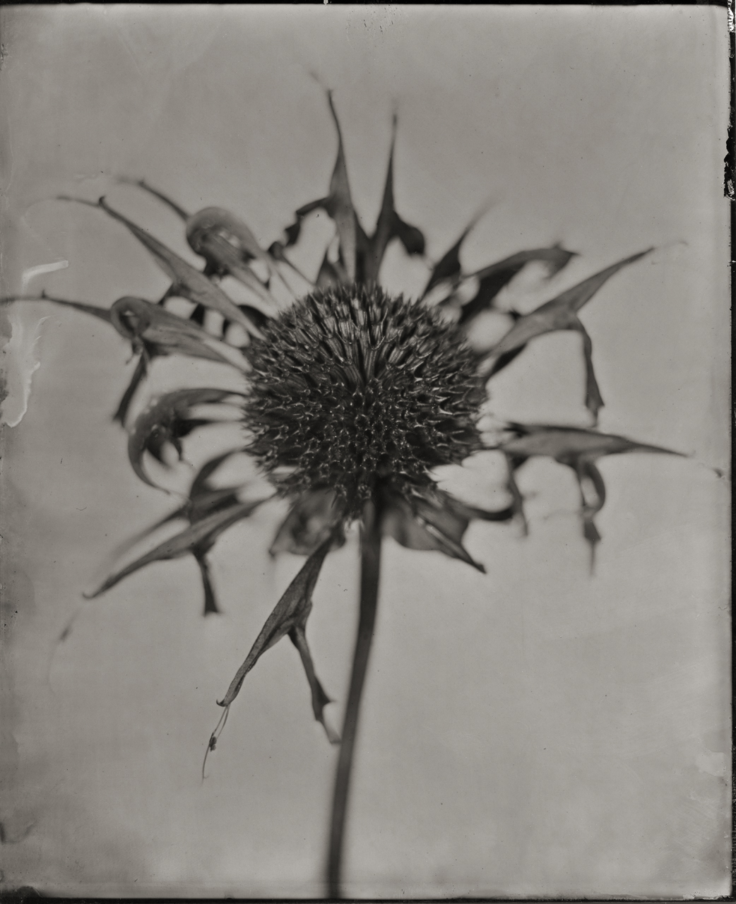 Portrait of a Bee Balm