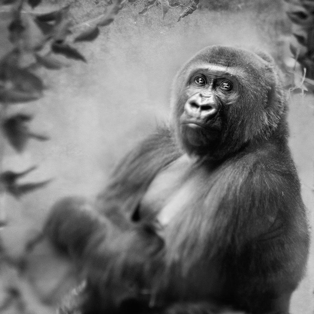 Gorilla © Anne Berry
