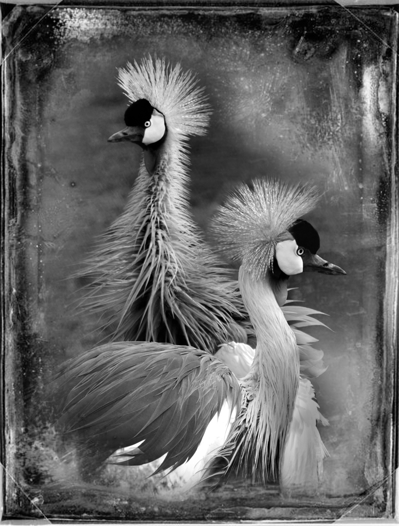 East African Crowned Cranes © Dianne Yudelson