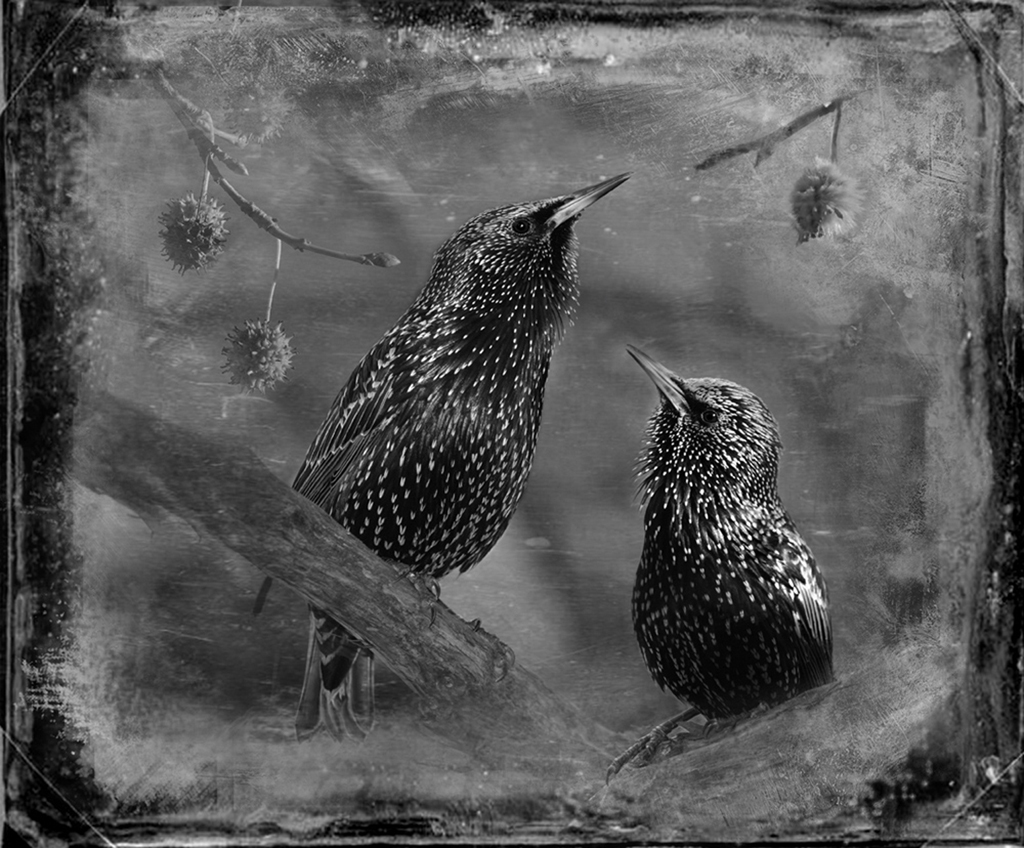 Starlings © Dianne Yudelson