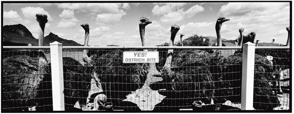 Landscape Ostrich © David Carol