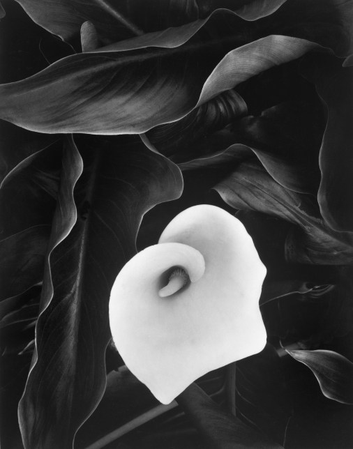 "Cala Lily, Medford, OR, 1975 from the ""Mother of Pearls"" portfolio -- a tribute to Minor White © William Giles."