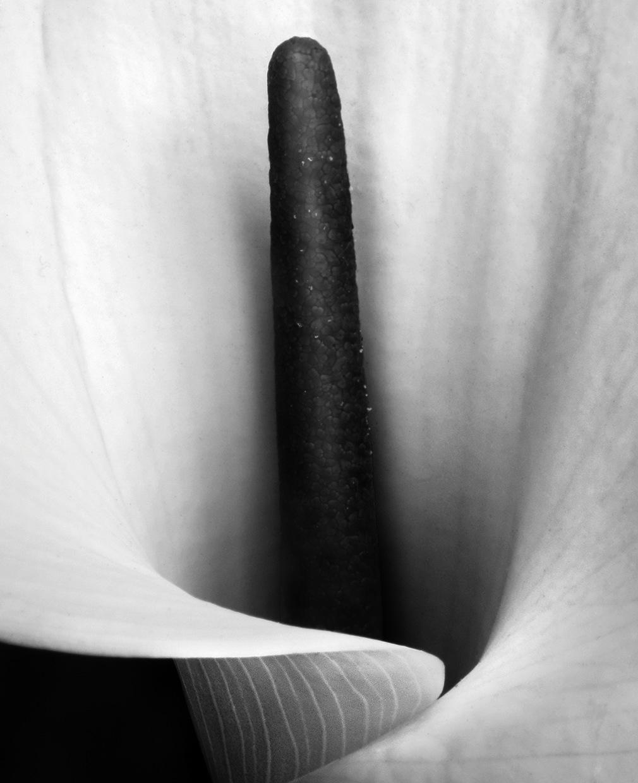 Calla © Aryan Chapell