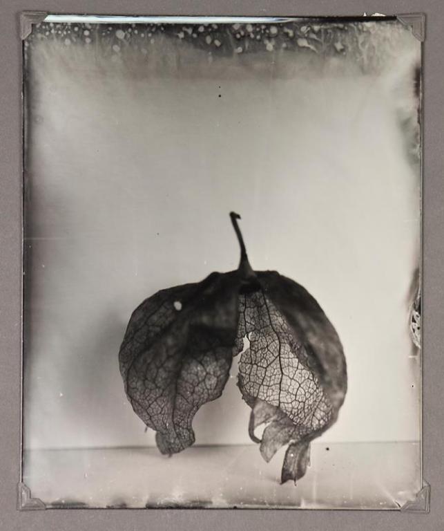 Tomatillo Skin © Denis Roussel