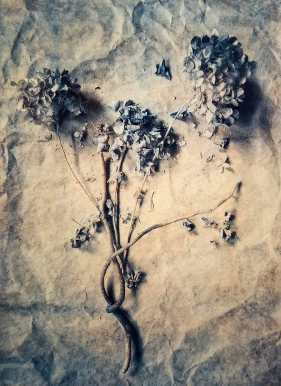 Hydrangea © Diana Bloomfield
